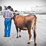 4H at the fair: Man walking cow