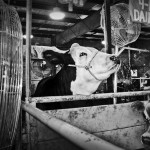 Animals at the fair: Cooling off