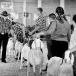 4H animals: Judging the goats at the fair