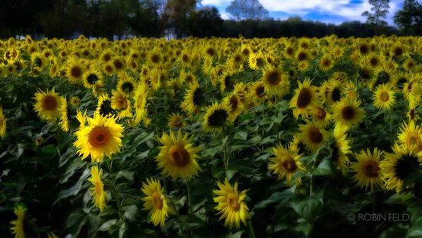 sunflowers-in-field
