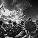 Sunflowers in field: black & white