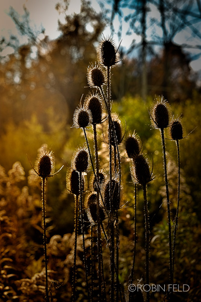 thistle in the sunlight
