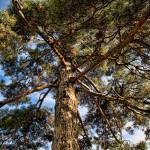 Pine Tree HDR